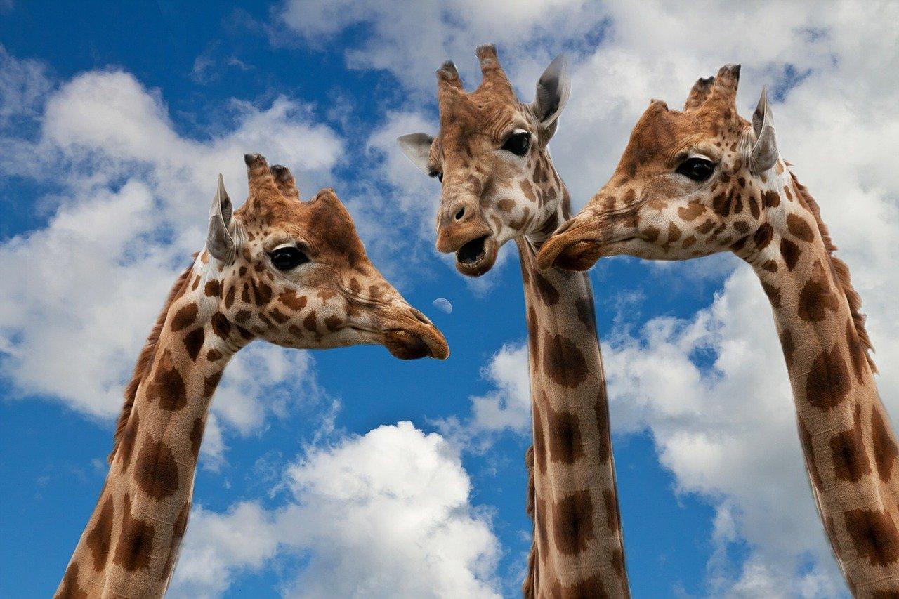 Giraffen-Unterhaltung